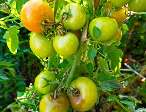 Einfache Tipps zur Pflege von Tomatenpflanzen
