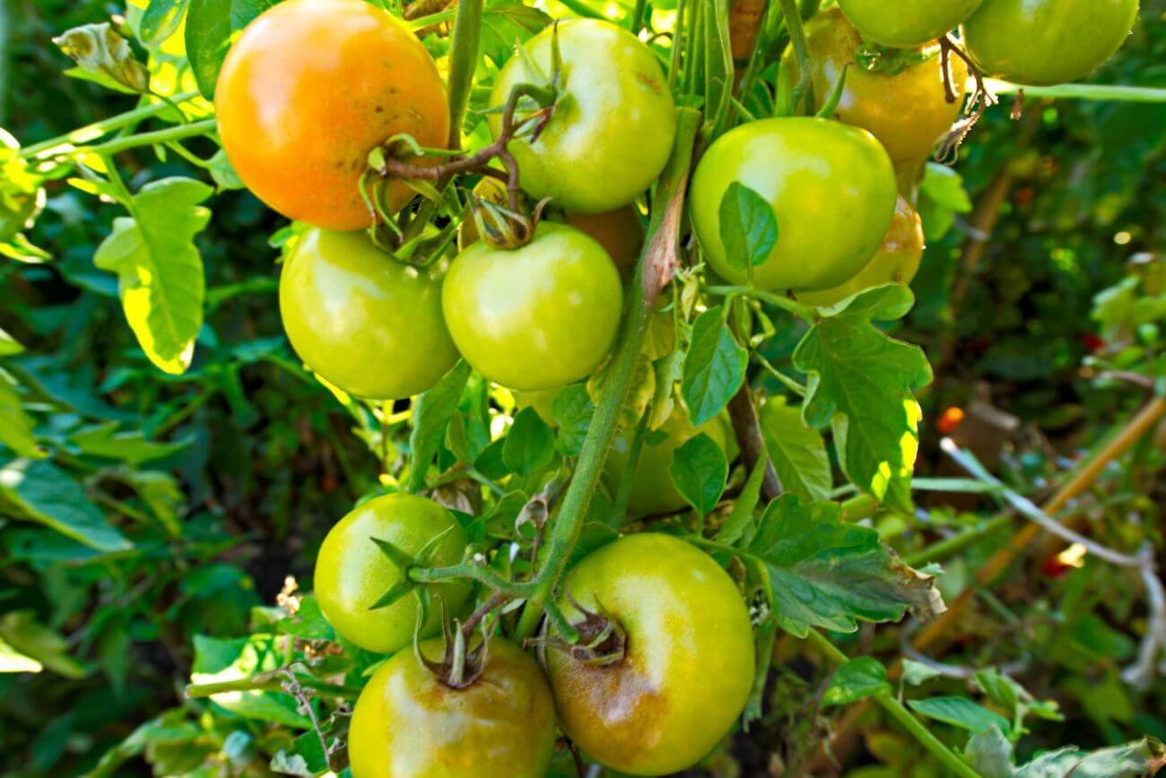 Grüne Tomaten, Ernährung, Gesundheit, Essen