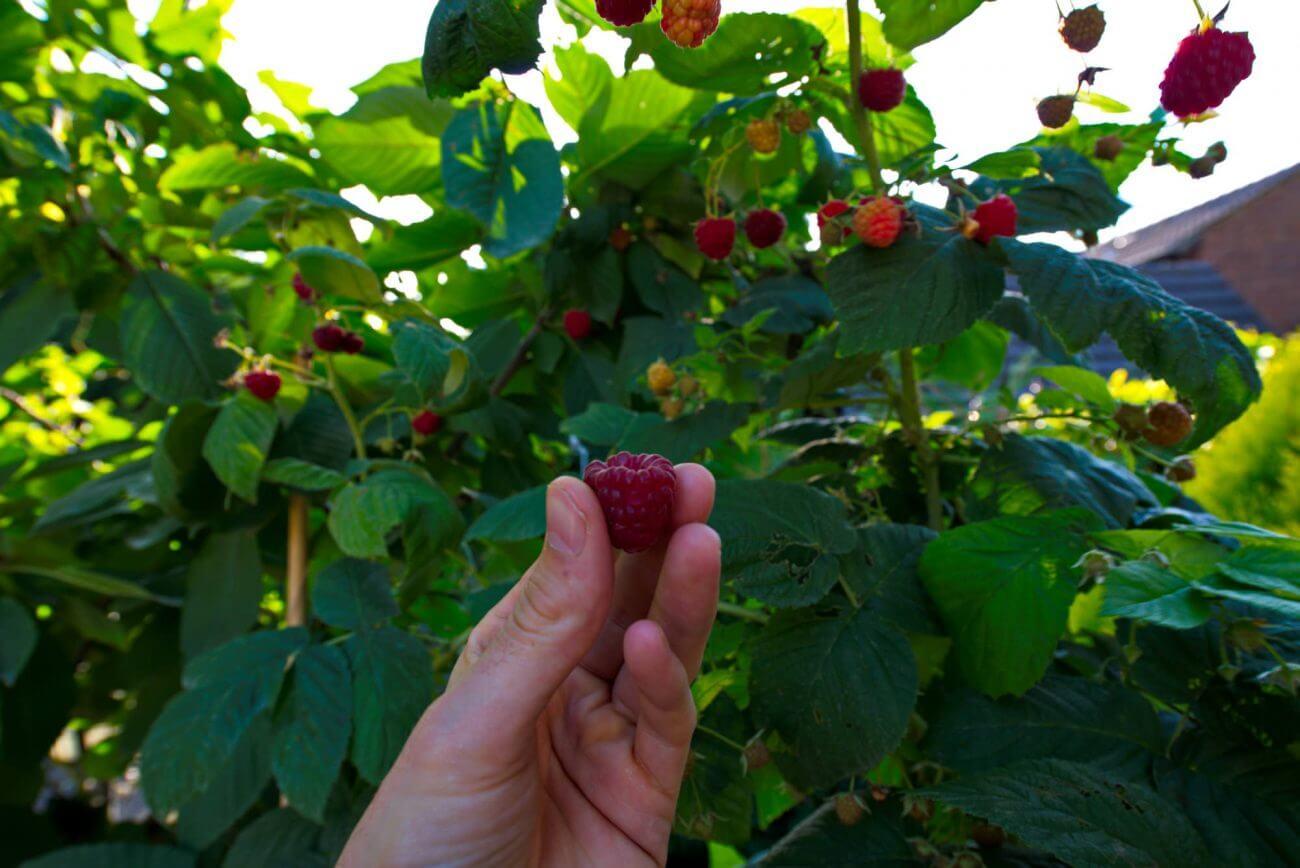 Brombeere, Gesundheit, Ernährung, Körper, Frucht, Garten
