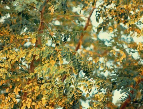 Moringa – ein Superfood mit besonderer Wirkung