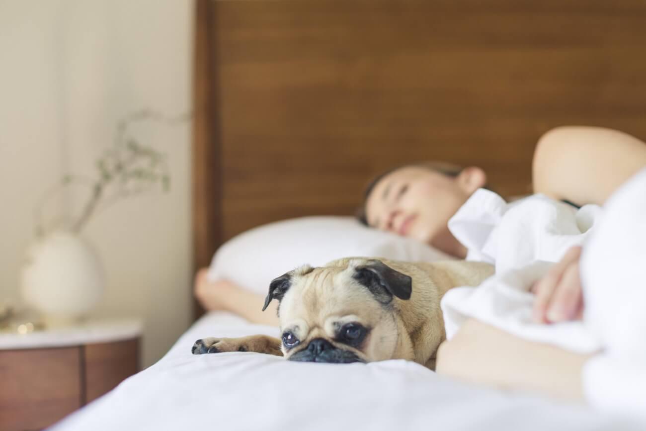 Schlafkrankheit, Schlank, Schlaf, Hund,Mops,